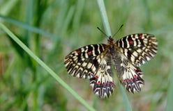 Mariposa en un prado soleado Mariposas de la primavera Adorno meridional Fotografía de archivo