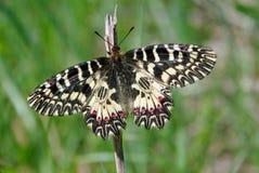 Mariposa en un prado soleado Mariposas de la primavera Adorno meridional Foto de archivo libre de regalías