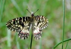 Mariposa en un prado soleado Mariposas de la primavera Adorno meridional Fotos de archivo libres de regalías