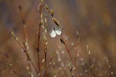 Mariposa en un sauce floreciente Imagenes de archivo