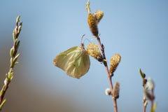 Mariposa en un sauce floreciente Imagen de archivo