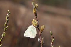 Mariposa en un sauce floreciente Imágenes de archivo libres de regalías