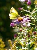 Mariposa en un wildflower Fotografía de archivo