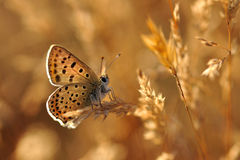 Mariposa en una avena Imagenes de archivo