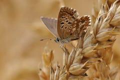Mariposa en una avena Fotos de archivo libres de regalías