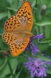 Mariposa en una centaurea de prado de la flor Imagenes de archivo