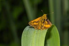 Mariposa en una cuchilla de la hierba imagen de archivo