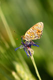 Mariposa en una flor Libre Illustration