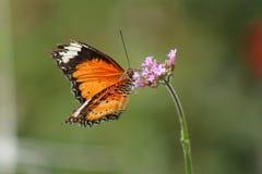 Mariposa en una flor Foto de archivo