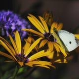 Mariposa en una flor Fotografía de archivo