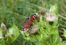 Mariposa en una flor Imagen de archivo libre de regalías