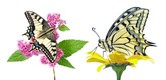 Mariposa en una flor aislada en blanco Mariposa de Swallowtail, machaon de Papilio foto de archivo