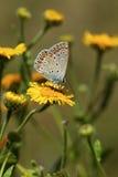 Mariposa en una flor amarilla Fotografía de archivo