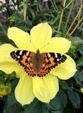Mariposa en una flor amarilla Imagenes de archivo