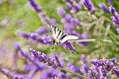 Mariposa en una flor de la lavanda Fotografía de archivo libre de regalías