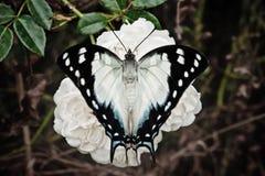 Mariposa en una flor de la rosa Imágenes de archivo libres de regalías