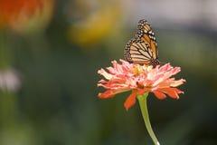 Mariposa en una flor del Zinnia Fotografía de archivo