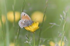 Mariposa en una flor, los Vosgos, Francia Foto de archivo libre de regalías