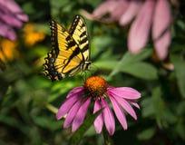 Mariposa en una flor púrpura imagen de archivo