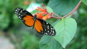 Mariposa en una flor que come el néctar Imagen de archivo