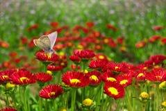 Mariposa en una flor roja. Imagen de archivo libre de regalías