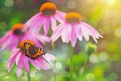 Mariposa en una flor roja en luz de la puesta del sol Imagenes de archivo