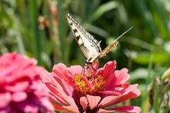 Mariposa en una flor rosada Imagenes de archivo