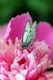 Mariposa en una flor rosada Imágenes de archivo libres de regalías