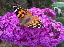 Mariposa en una flor rosada, mariposa, flor rosada, Imágenes de archivo libres de regalías