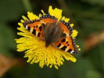 Mariposa en una floración amarilla Imagenes de archivo