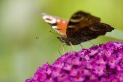 Mariposa en una floración de la flor Fotos de archivo libres de regalías