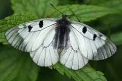 Mariposa en una hierba. Apolo negro (Mnemosyne) Imagen de archivo libre de regalías