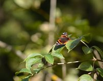 Mariposa en una hoja Foto de archivo libre de regalías