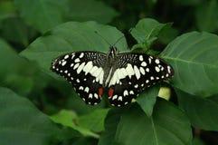 Mariposa en una hoja imagen de archivo