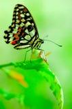 Mariposa en una hoja verde clara Fotografía de archivo libre de regalías