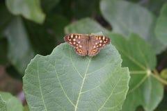 Mariposa en una licencia verde Imagen de archivo