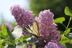 Mariposa en una lila Foto de archivo libre de regalías