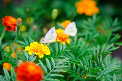 Mariposa en una maravilla de la flor Imagen de archivo