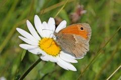 Mariposa en una margarita (lycaon del hyponephele) Fotografía de archivo libre de regalías