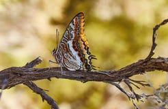 Mariposa en una ramificación Imagen de archivo libre de regalías