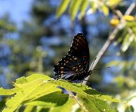 Mariposa en una vid salvaje Foto de archivo libre de regalías