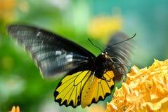 Mariposa en vuelo fotos de archivo