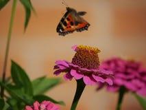 Mariposa en vuelo Fotos de archivo libres de regalías