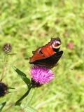 Mariposa encima de la flor del cardo fotografía de archivo libre de regalías