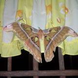 Mariposa enorme Imagen de archivo