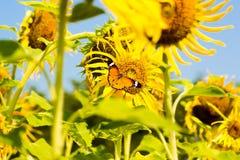 Mariposa entre las flores del sol Imágenes de archivo libres de regalías