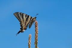 Mariposa escasa del swallowtail Fotos de archivo