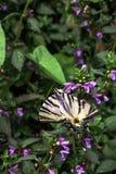 Mariposa escasa del swallowtail en la flor púrpura del Lamium foto de archivo libre de regalías