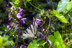 Mariposa escasa del swallowtail en la flor púrpura del Lamium foto de archivo
