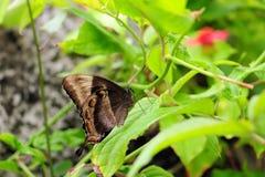 Mariposa esmeralda de Swallowtail (superficie inferior) Imagenes de archivo